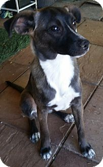 Italian Greyhound Mix Dog for adoption in Tucson, Arizona - Gina