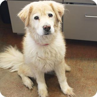 Labrador Retriever Mix Dog for adoption in Denver, Colorado - Abby