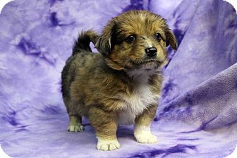 Shih Tzu/Sheltie, Shetland Sheepdog Mix Puppy for adoption in Westminster, Colorado - TANGO