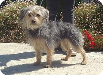 Yorkie, Yorkshire Terrier/Poodle (Miniature) Mix Dog for adoption in Lathrop, California - Petunia