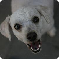 Adopt A Pet :: Emma-Terripoo! - Canoga Park, CA