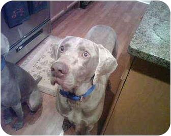 Weimaraner Dog for adoption in Marietta, Georgia - Jack-Adopted