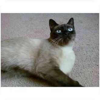 Siamese Cat for adoption in Arlington, Tennessee - Cleopatra