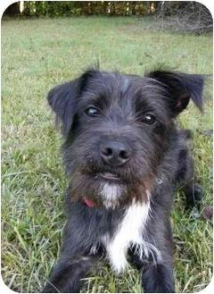Affenpinscher/Patterdale Terrier (Fell Terrier) Mix Dog for adoption in Mocksville, North Carolina - Bingo
