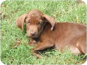 Labrador Retriever Mix Puppy for adoption in Exeter, New Hampshire - Dolly
