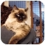 Photo 2 - Ragdoll Cat for adoption in Davis, California - Harrison