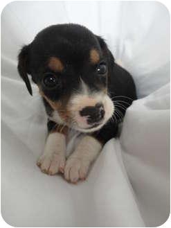 Beagle Mix Puppy for adoption in Spruce Pine, North Carolina - Carolina