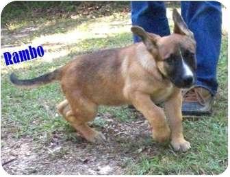 Shepherd (Unknown Type) Mix Puppy for adoption in Ozark, Alabama - Rambo