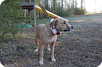 Boxer/Pit Bull Terrier Mix Dog for adoption in Albemarle, North Carolina - Snowy