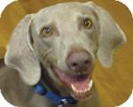 Weimaraner Dog for adoption in St. Louis, Missouri - Cody