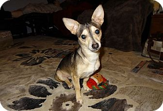 Chihuahua/Italian Greyhound Mix Dog for adoption in Hamilton, Ontario - Buddy