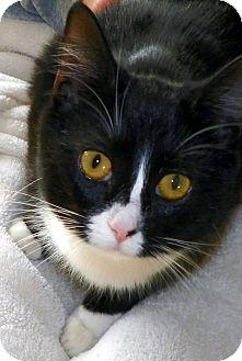 British Shorthair Kitten for adoption in Denton, Texas - Little Girl