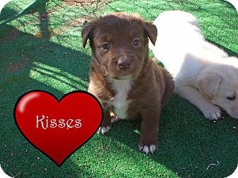 Border Collie/Labrador Retriever Mix Puppy for adoption in Austin, Texas - Kisses