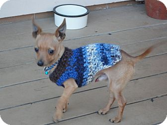Miniature Pinscher Puppy for adoption in Santa Rosa, California - Joey