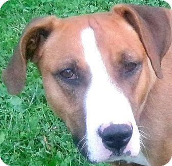 Bull Terrier Mix Dog for adoption in Hillsboro, Ohio - April
