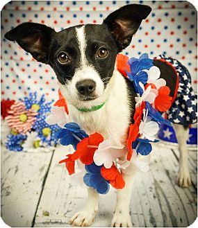 Chihuahua/Papillon Mix Dog for adoption in Phoenix, Arizona - Pepper