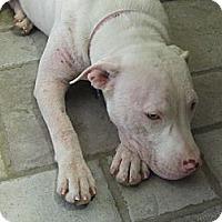 Adopt A Pet :: Layla - Austin, TX