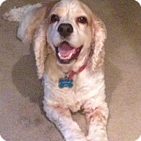 Adopt A Pet :: Pancake - Sugarland, TX
