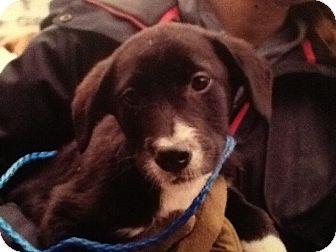 Labrador Retriever Mix Puppy for adoption in New Boston, New Hampshire - Keifer