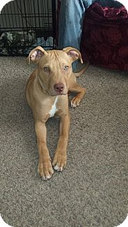 Labrador Retriever Mix Dog for adoption in West Allis, Wisconsin - **Courtesy Cupid** Joey