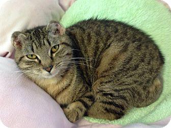 Domestic Shorthair Cat for adoption in Greensburg, Pennsylvania - Zoe