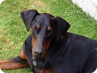 Doberman Pinscher/Rottweiler Mix Dog for adoption in Bellingham, Washington - Otis