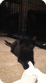 Domestic Shorthair Kitten for adoption in Nashville, Tennessee - Pippa 2