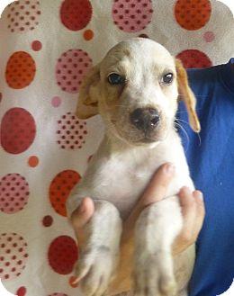 Golden Retriever/Australian Shepherd Mix Puppy for adoption in Oviedo, Florida - Jake