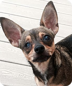 Chihuahua Dog for adoption in Ft Myers Beach, Florida - Sweet and Petite!