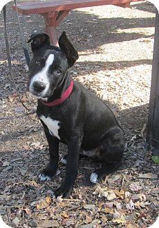 Border Collie/Terrier (Unknown Type, Medium) Mix Puppy for adoption in Sonoma, California - Kobe