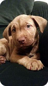 Labrador Retriever/Pit Bull Terrier Mix Puppy for adoption in Rathdrum, Idaho - Echo