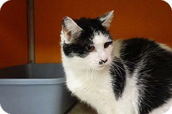 Domestic Shorthair Cat for adoption in Elyria, Ohio - Millie
