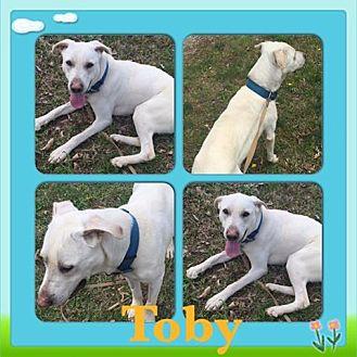 Labrador Retriever Mix Dog for adoption in ST LOUIS, Missouri - Toby
