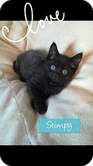 Domestic Shorthair Kitten for adoption in Toledo, Ohio - Stimpy