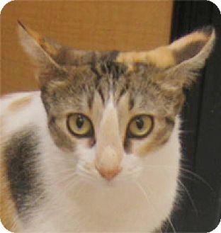 Domestic Shorthair Cat for adoption in Garland, Texas - Paula