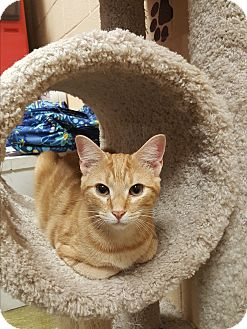 Domestic Shorthair Kitten for adoption in Smithfield, North Carolina - Bee