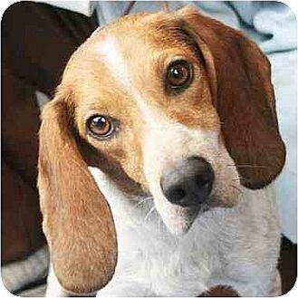 Beagle Mix Dog for adoption in Huntley, Illinois - Angel