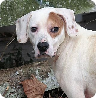Boxer/Pointer Mix Puppy for adoption in Germantown, Maryland - Barron
