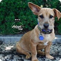 Adopt A Pet :: Max - Santa Monica, CA