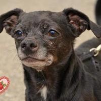 Adopt A Pet :: Ziggy - Annapolis, MD