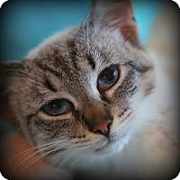 Adopt A Pet :: Valentino - Spring Valley, NY