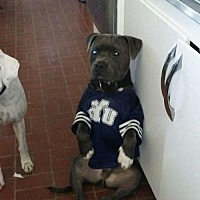 Adopt A Pet :: Sugar Boo Blue - Santa Monica, CA