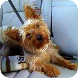 Yorkie, Yorkshire Terrier Mix Dog for adoption in Jacksonville, Florida - Jackie