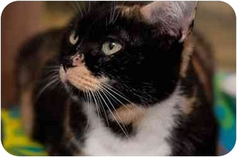 Domestic Shorthair Cat for adoption in Westbrook, Maine - Callie