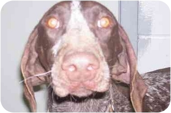 German Shorthaired Pointer Puppy for adoption in Tiffin, Ohio - Bo-