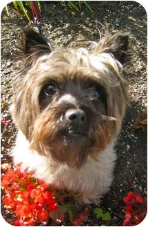 Cairn Terrier Dog for adoption in Portland, Oregon - Lucky Dog!