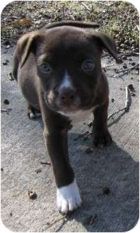 American Staffordshire Terrier/Staffordshire Bull Terrier Mix Puppy for adoption in Berea, Ohio - Conner