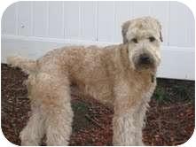 Wheaten Terrier Dog for adoption in Brookline, Massachusetts - Corky