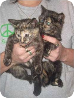 Domestic Shorthair Kitten for adoption in Marseilles, Illinois - Lucy & Tabitha