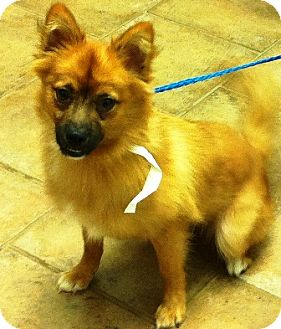 Pomeranian Mix Puppy for adoption in Oswego, Illinois - I'M ADOPTED Webster Coates